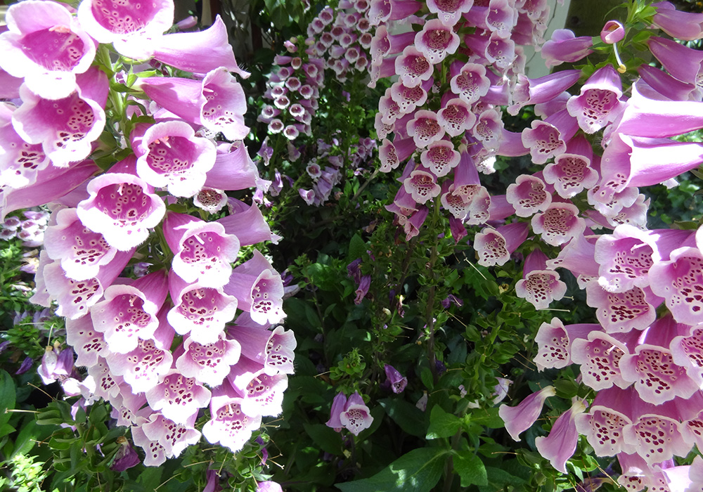 Bellagio Conservatory & Botanical Gardens, Digitalis Foxglove Flowers