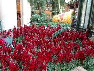 Red Flowers, Bellagio Conservatory and Botanical Gardens, Las Vegas