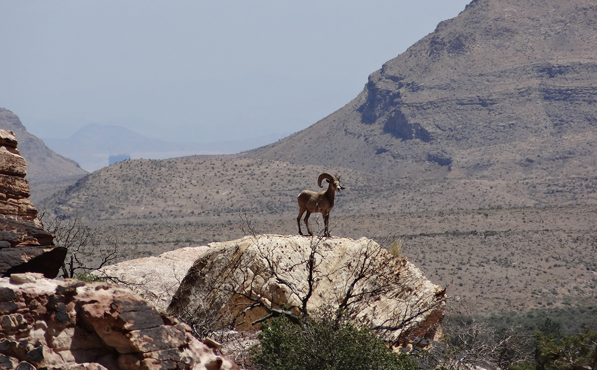 Bighorn Sheep, Pine Creek Trail, Red Rock Vegas