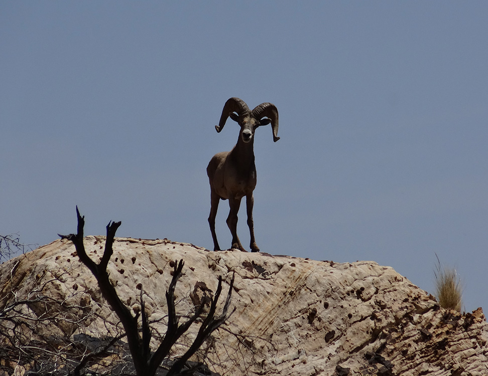 Bighorn Sheep on Pine Creek Trail, Red Rock Canyon, Las Vegas