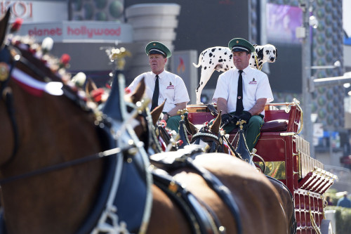 Break time for the Budweiser Clydesdales, Las Vegas Strip