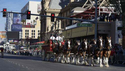 Famous Budweiser Clydesdales Trotting Down the Las Vegas Strip